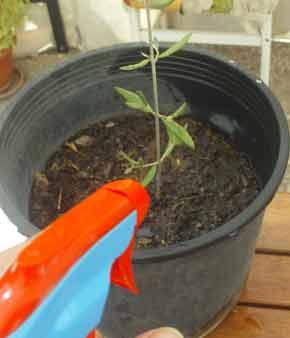 Artículo: El uso de Aceite de Neem en la Horticultura Macetaypulverizador