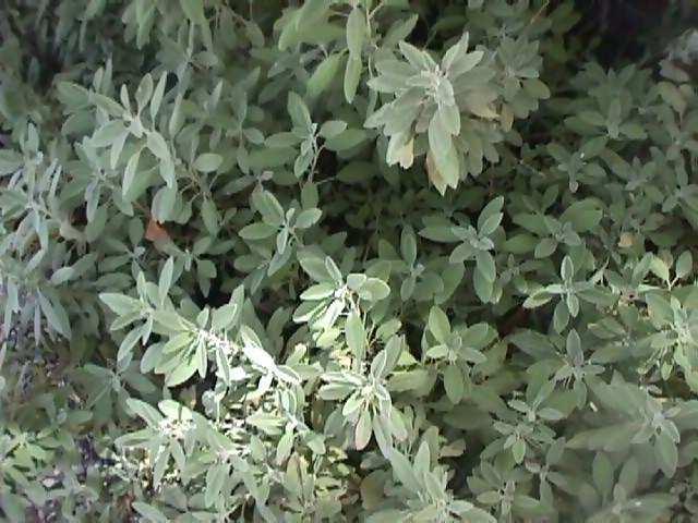 Salvia y plantas aromticas romero hinojo hierbaluisa for La salvia en la cocina